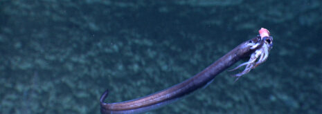 Cutthroat eel eating squid