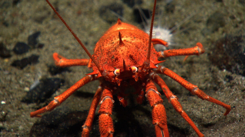 DOSI deep-sea round-up feature image: a squat lobster close up