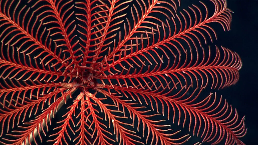 vibrant red crinoid