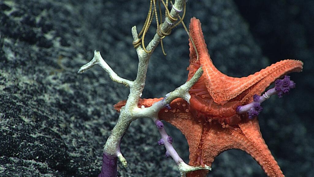 Red deep sea seastar eating coral
